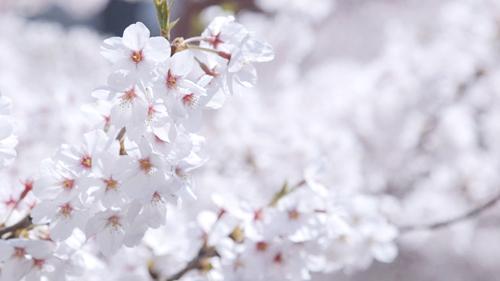 tora-sakura.jpg